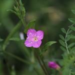 あかばなゆうげしょう(赤花夕化粧)Oenothera rosea_1 (3)