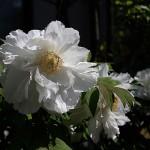 ぼたん(牡丹)Paeonia suffruticosa_1 (7)