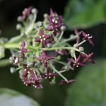 782.あおき(青木)Aucuba japonica_0