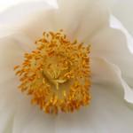 ぼたん(牡丹)Paeonia suffruticosa_1 (2)