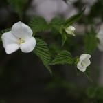 783.しろやまぶき(白山吹)Rhodotypos scandens_0 (4)