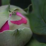 ぼたん(牡丹)Paeonia suffruticosa_1 (5)