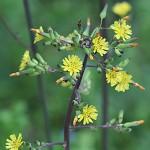 おにたびらこ(鬼田平子)Youngia japonica_1 (4)