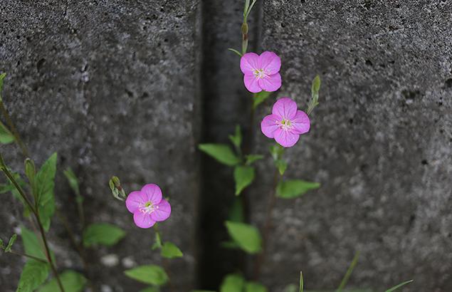あかばなゆうげしょう(赤花夕化粧)Oenothera rosea_1 (4)