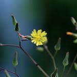 おにたびらこ(鬼田平子)Youngia japonica_1 (3)