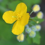 くさのおう(草ノ王)Chelidonium majus L. var. asiaticum