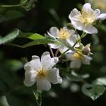 のいばら(野茨)Rosa multiflora (3)