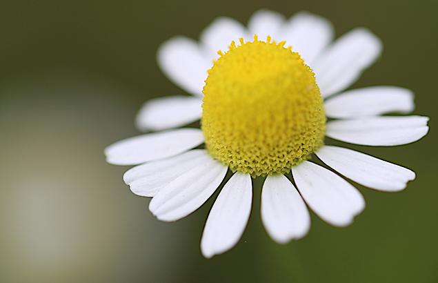 ジャーマンカモミール  Matricaria recutita (2)