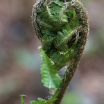 くさそてつ(草蘇鉄)Matteuccia struthiopteris