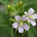 812.アメリカふうろ (亜米利加風路)Geranium carolinianum_1