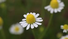 ジャーマンカモミール  Matricaria recutita (1)