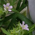 812.アメリカふうろ (亜米利加風路)Geranium carolinianum_1 (3)