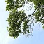 ゆりのき(百合の木)Liriodendron tulipifera (1)