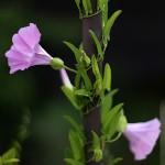 ひるがお(昼顔)Calystegia japonica (1)