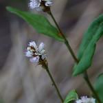 819.つるそば (蔓蕎麦)Persicaria chinensis (4)