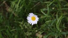 マーガレット(木春菊)Argyranthemum frutescens (4)