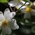 のいばら(野茨)Rosa multiflora (4)