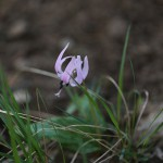 かたくり(片栗)Erythronium japonicum (4)