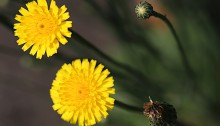 おおじしばり(大地縛り)Ixeris japonica (4)