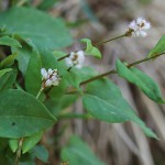 つるそば (蔓蕎麦)Persicaria chinensis (1)