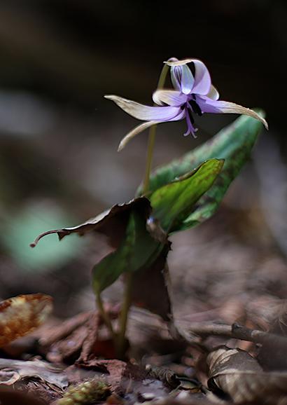 かたくり(片栗)Erythronium japonicum (3)