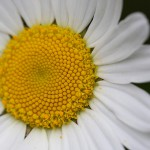 マーガレット(木春菊)Argyranthemum frutescens (2)