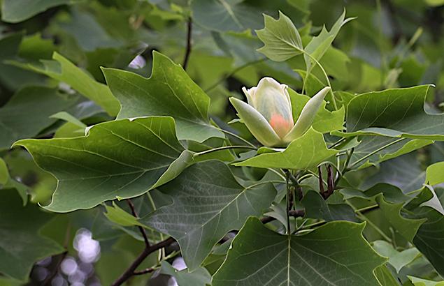 ゆりのき(百合の木)Liriodendron tulipifera