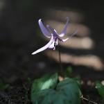 かたくり(片栗)Erythronium japonicum (5)