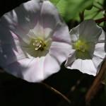 ひるがお(昼顔)Calystegia japonica (5)