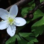 にりんそう(二輪草)Anemone flaccida (2)