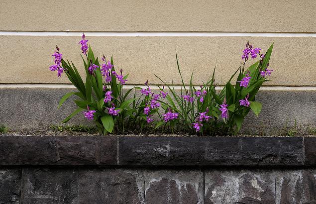 しらん(紫蘭)Bletilla striata (6)