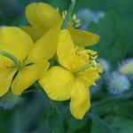 くさのおう(草ノ王)Chelidonium majus L. var. asiaticum (4)