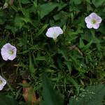 831. ひるがお(昼顔)Calystegia japonica (6)