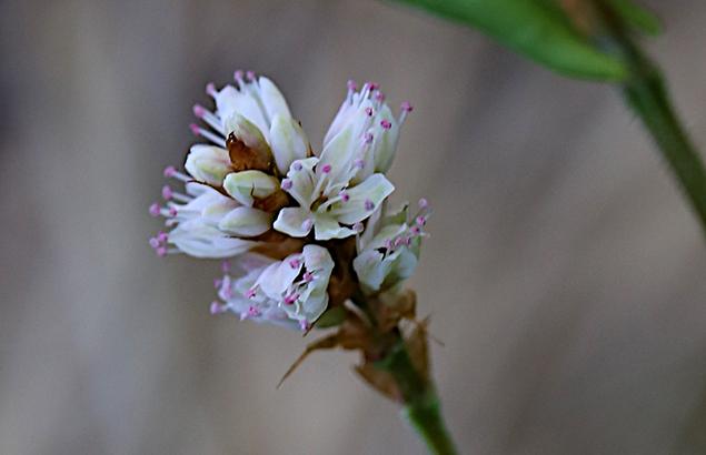 つるそば (蔓蕎麦)Persicaria chinensis - バージョン 2