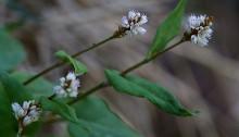 つるそば (蔓蕎麦)Persicaria chinensis