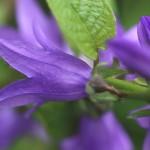 カンパニュラ ラプンクロイデCampanula rapunculoides (4)