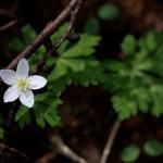 にりんそう(二輪草)Anemone flaccida (1)