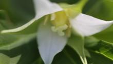 みやまえんれいそう深山延齢草) Trillium tschonoskii (1)