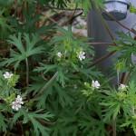 812.アメリカふうろ (亜米利加風路)Geranium carolinianum_1 (1)