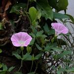 ひるがお(昼顔)Calystegia japonica (7)