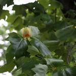 ゆりのき(百合の木)Liriodendron tulipifera (3)
