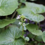 わさび(山葵)Wasabia japonica Matsum (1)