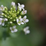 わさび(山葵)Wasabia japonica Matsum (4)