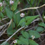 つるそば (蔓蕎麦)Persicaria chinensis (2)