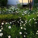 マーガレット(木春菊)Argyranthemum frutescens (3)