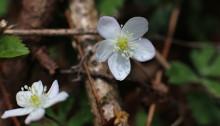 にりんそう(二輪草)Anemone flaccida (3)