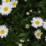 マーガレット(木春菊)Argyranthemum frutescens (1)