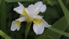 あやめ(菖蒲、綾目)Iris sanguinea (1)