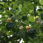 ゆりのき(百合の木)Liriodendron tulipifera (2)