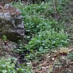 わさび(山葵)Wasabia japonica Matsum